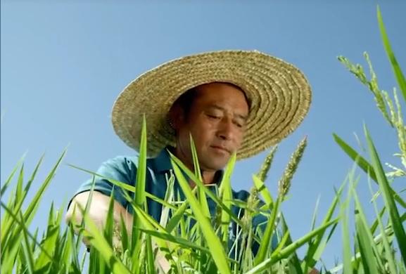 逆天的水稻