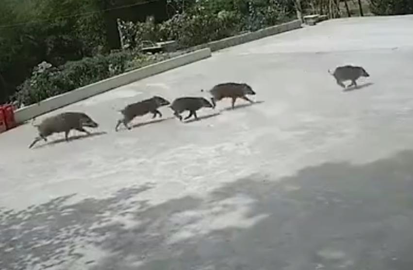 6只野猪狂奔闯农院看呆村民