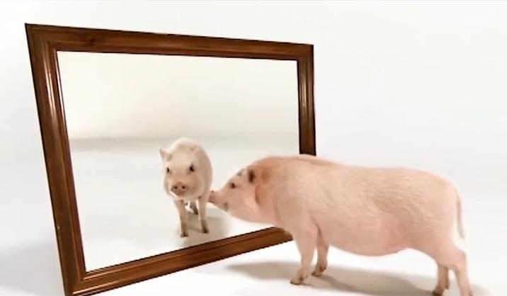 了不起的猪